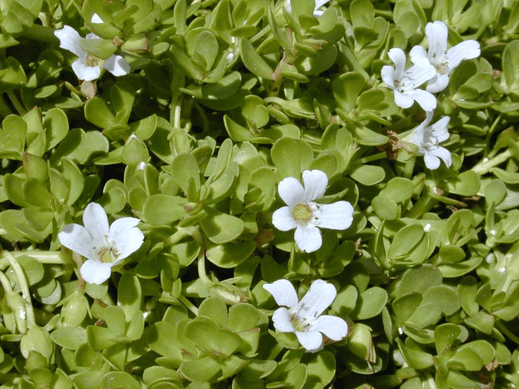 Bacopa Monnieri waterhyssop
